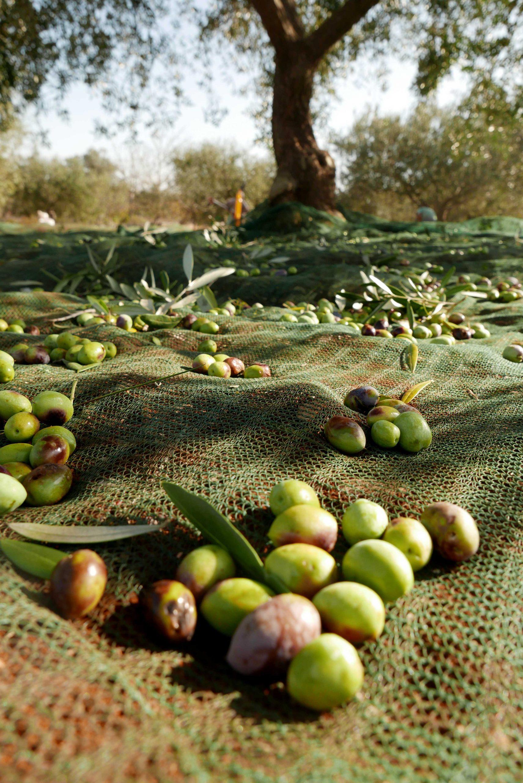 Novembre è il mese della raccolta delle olive in Puglia: scopri con noi questa antica tradizione!
